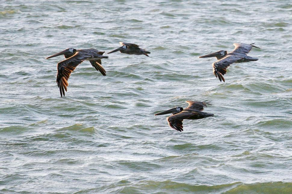 Download Free Stock HD Photo of Pelicans in flight  Online