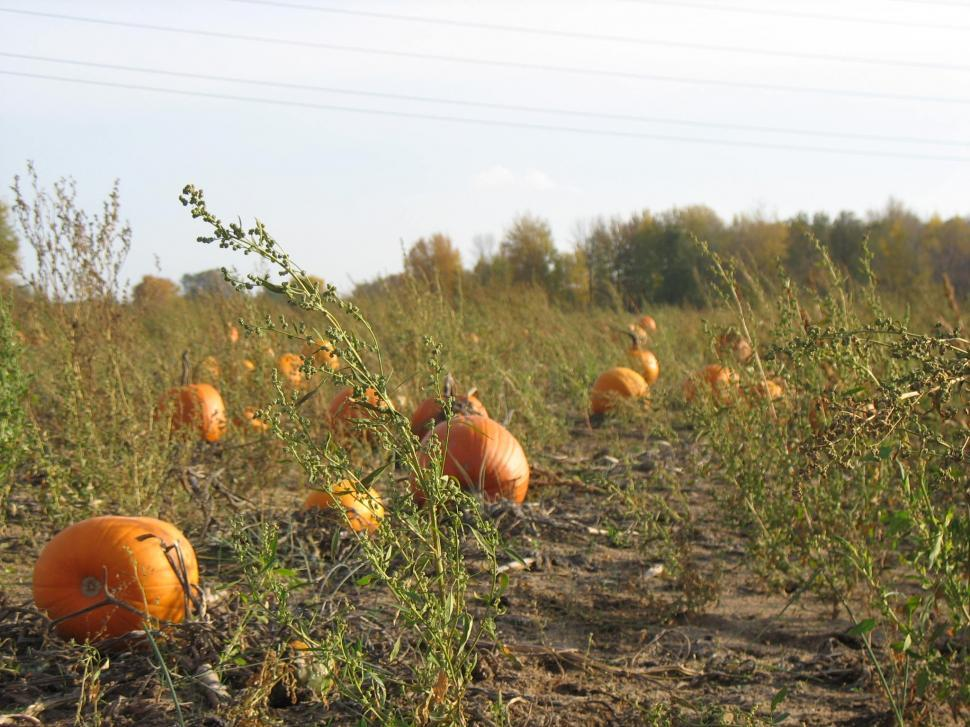 Download Free Stock HD Photo of Pumpkin Patch Online