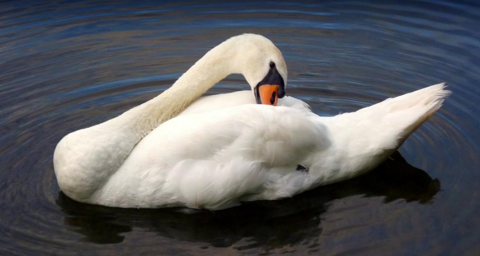 Download Free Stock HD Photo of White Swan Online