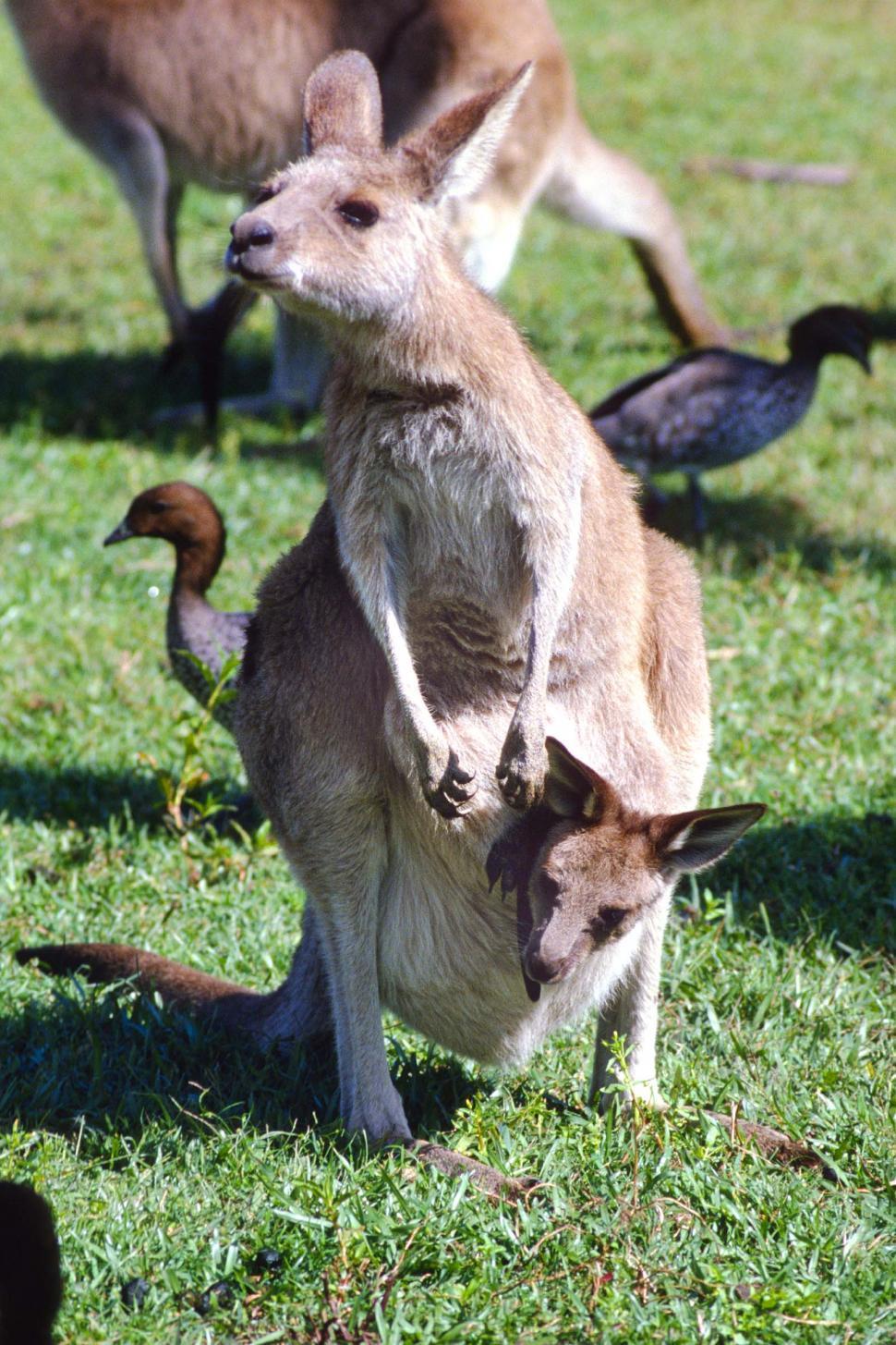 Download Free Stock HD Photo of Kangaroos Online