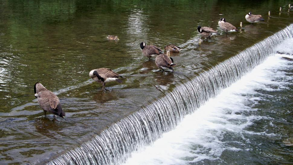 Download Free Stock HD Photo of Line of Ducks on a river step Online
