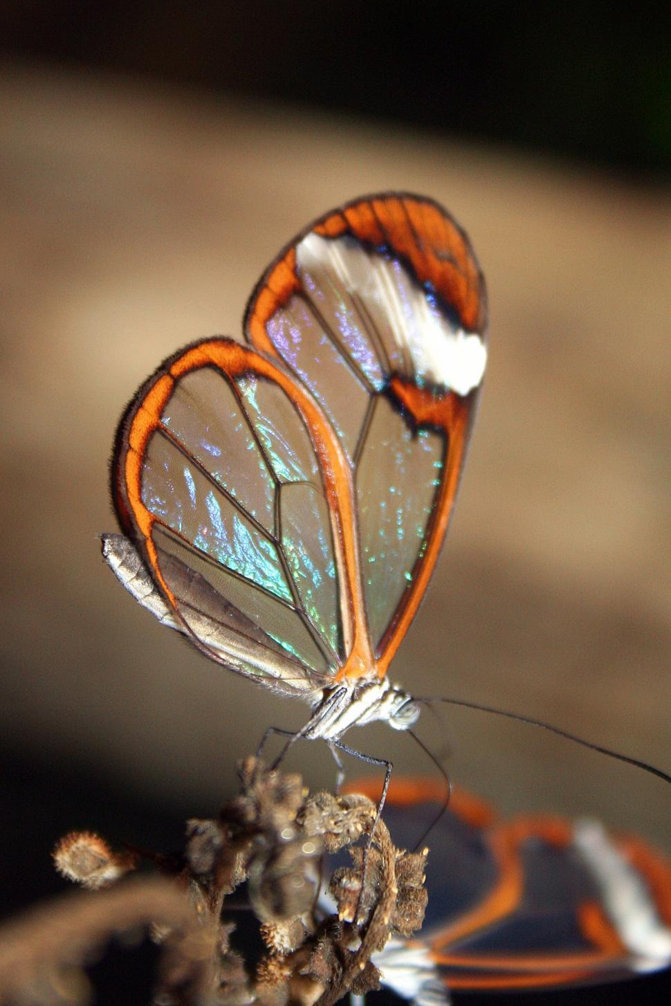 Download Free Stock HD Photo of glass wing butterfly Online