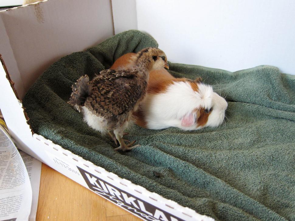 Free image of a chick and guinea pig in a box