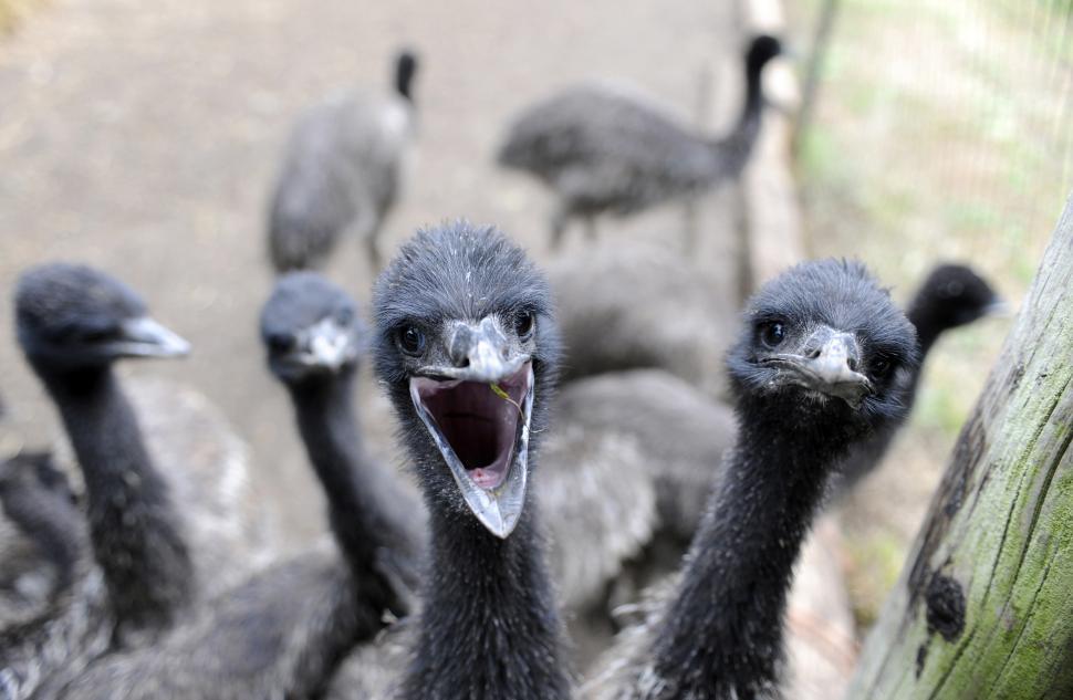 Download Free Stock HD Photo of Emu Farm Online