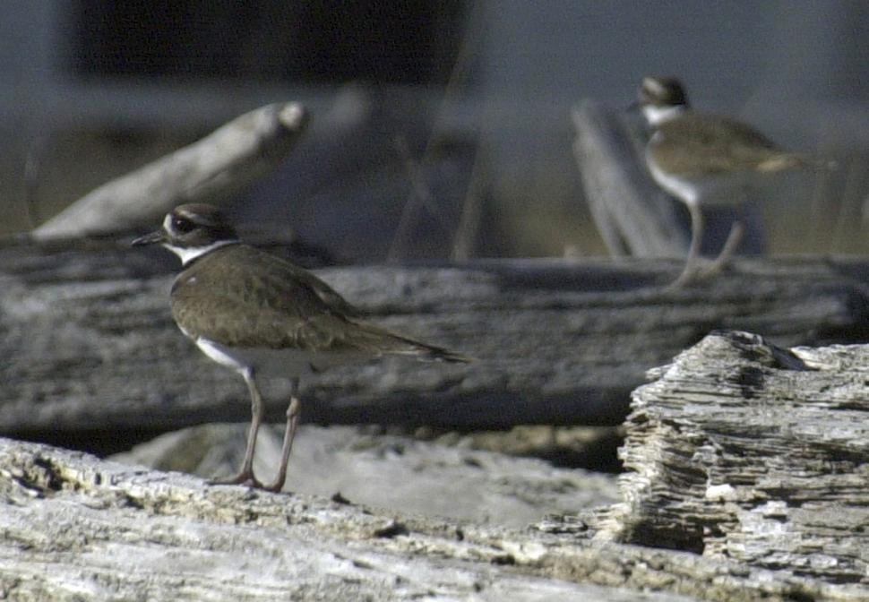Download Free Stock HD Photo of Shorebird Online