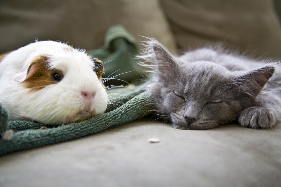 Free image of a Sleeping gray cat besides a guinea pig