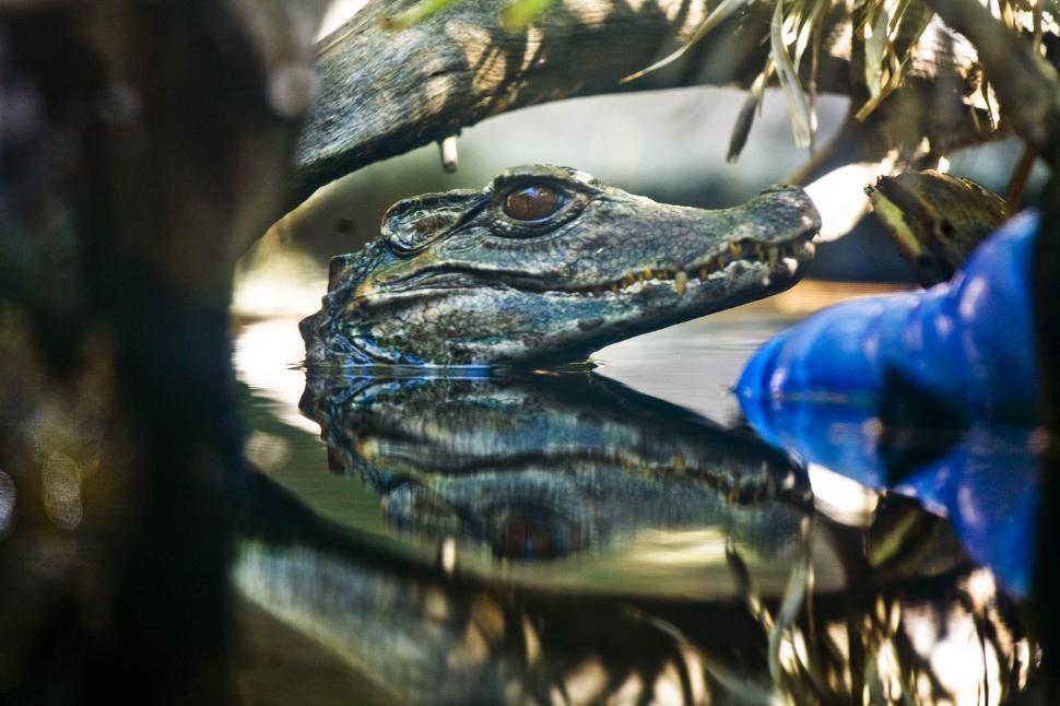 Download Free Stock HD Photo of Cayman Crocodile Head Online