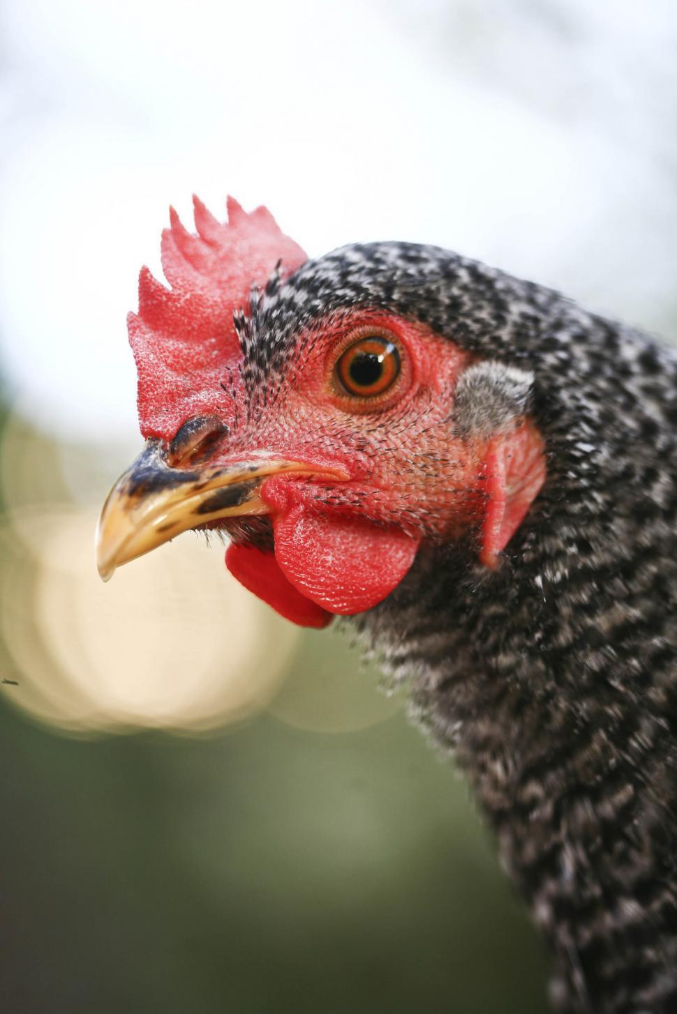 Download Free Stock HD Photo of black chicken Online