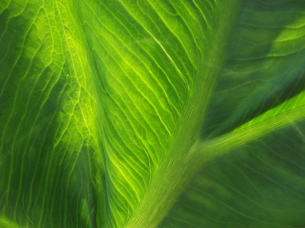Download Free Stock HD Photo of Elephant ear plant leaves close up Online