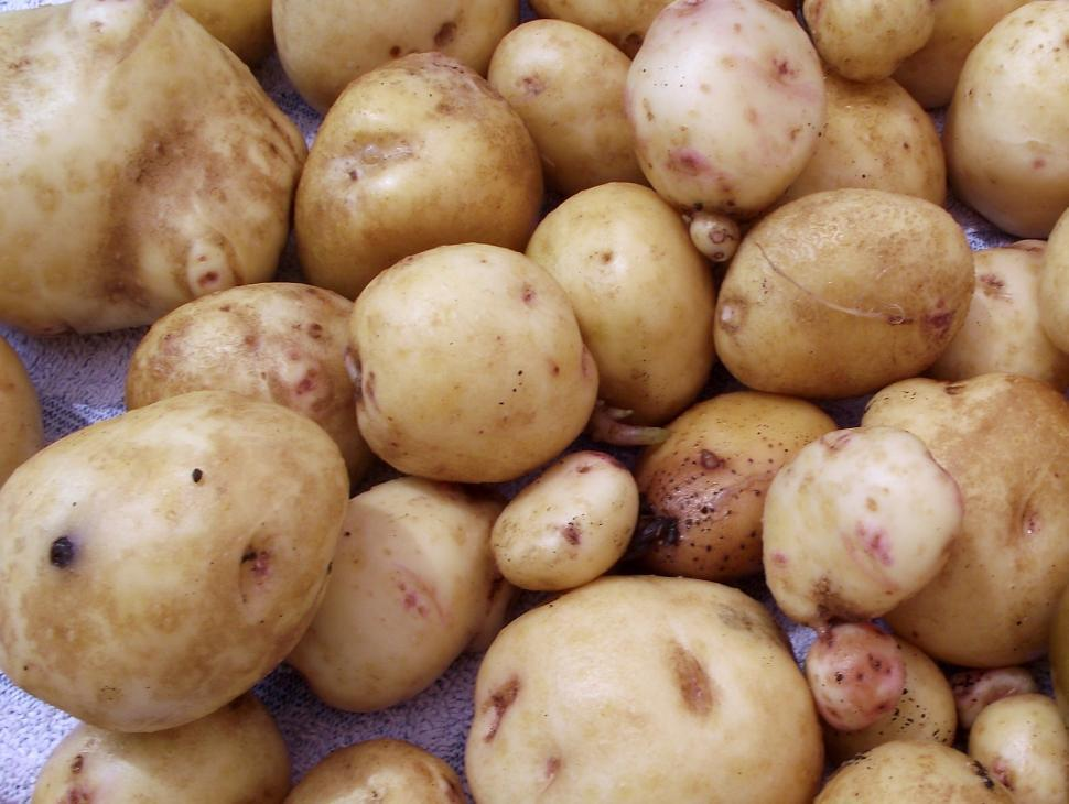 Download Free Stock HD Photo of Yellow Potatoes fresh from the garden Online