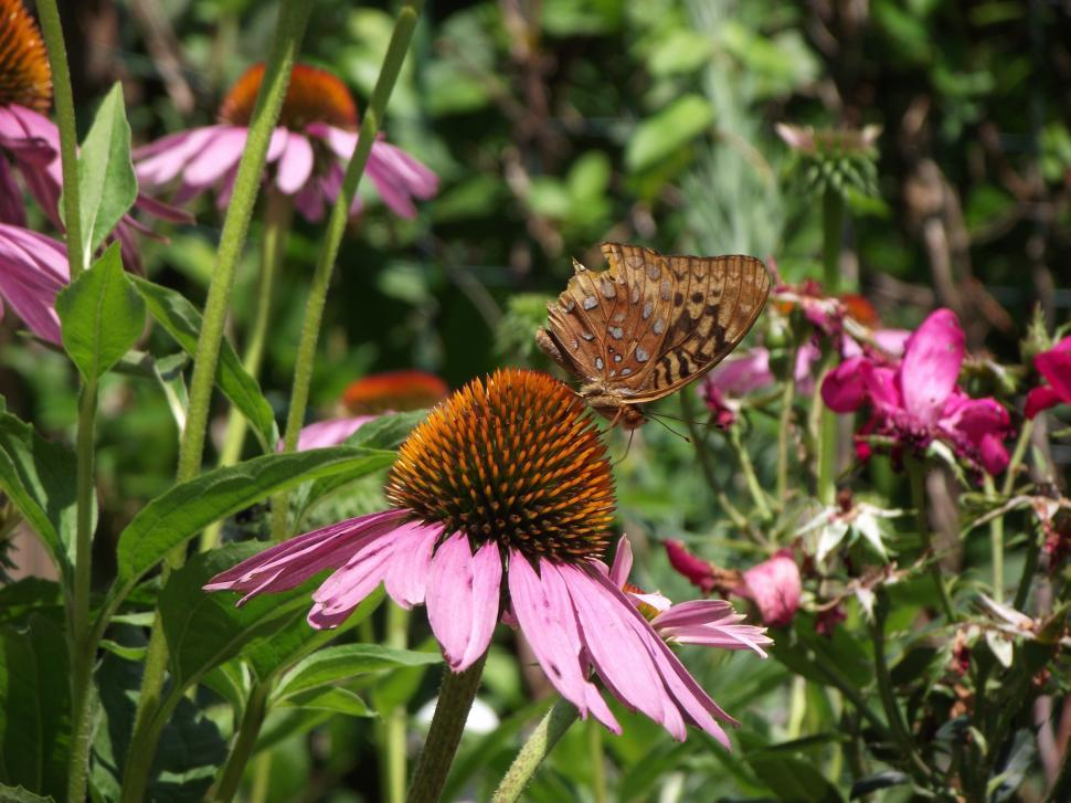 Download Free Stock HD Photo of Butterfly sitting on a purple coneflower flower Online