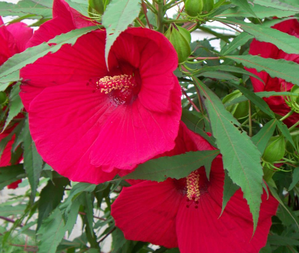 Get free stock photos of huge red hibiscus bush with flower online download free stock hd photo of huge red hibiscus bush with flower online izmirmasajfo