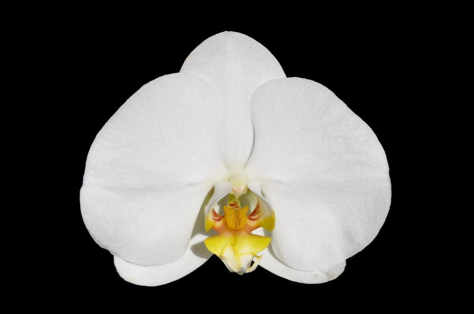 Download Free Stock HD Photo of Moth orchid Online