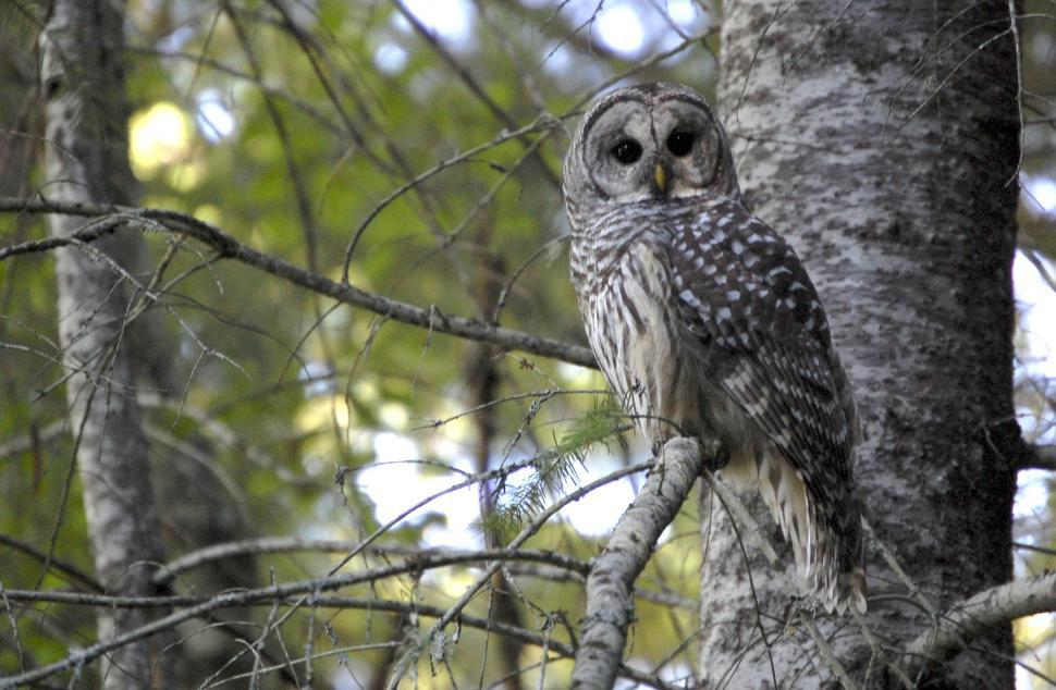 Download Free Stock HD Photo of Barred Owl Online