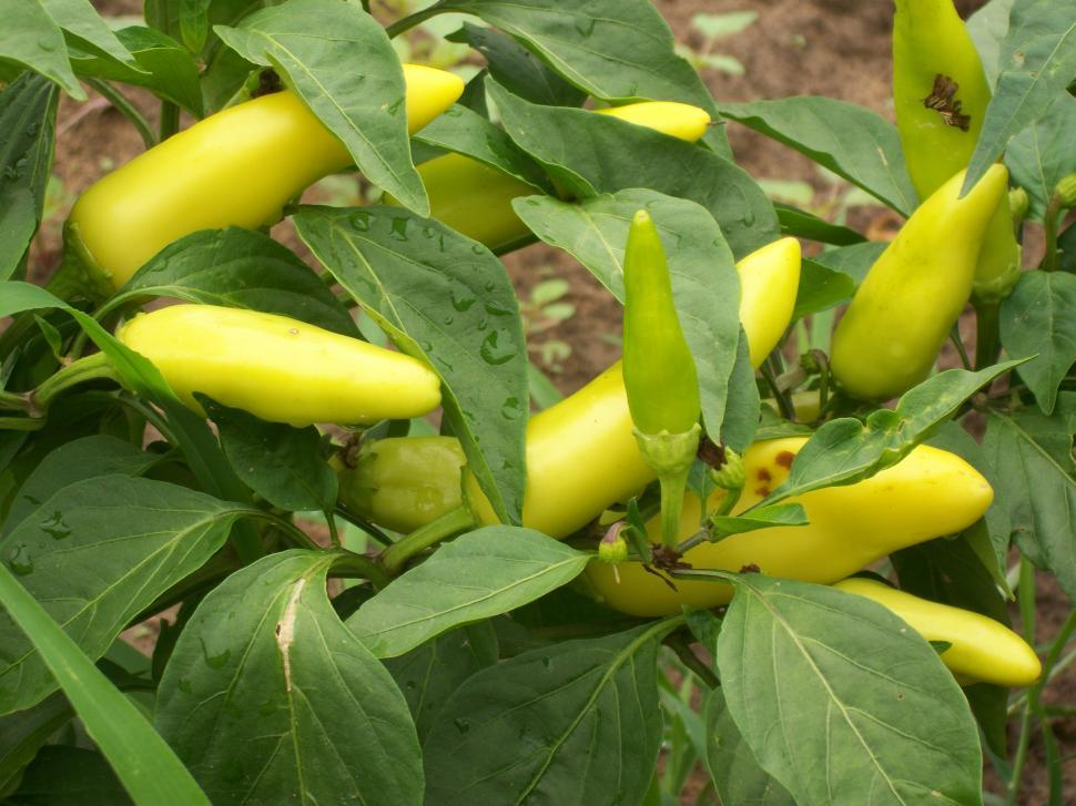 Download Free Stock HD Photo of Banana Pepper Plant Online