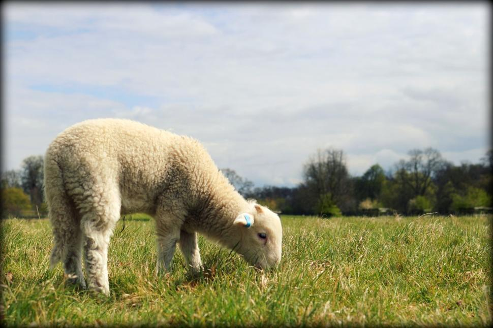 Download Free Stock HD Photo of Lamb Online