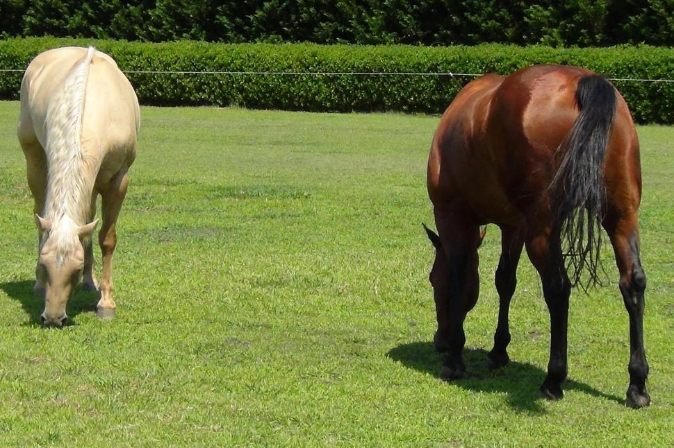 Download Free Stock HD Photo of Two Horses Enjoy Fresh Grass Online