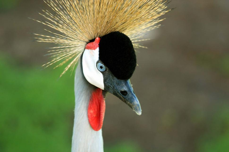 Download Free Stock HD Photo of Crowned crane Online