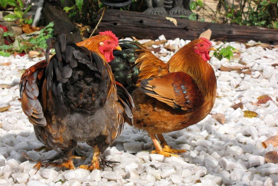 Download Free Stock HD Photo of Chickens Online