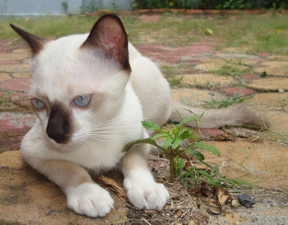 Download Free Stock HD Photo of White and Black Burmese Cat Online