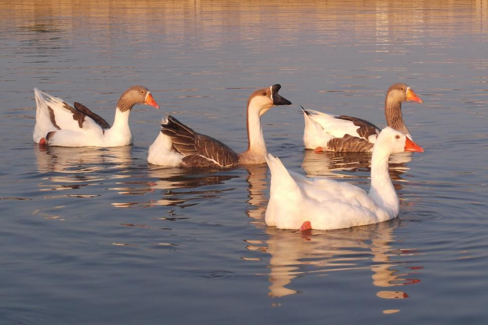 Download Free Stock HD Photo of Geese Online