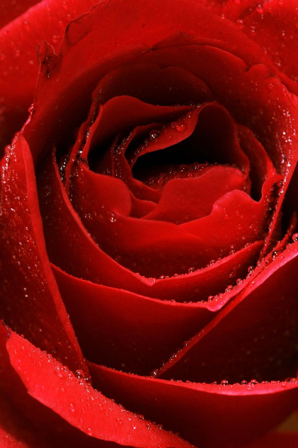 Download Free Stock HD Photo of Detail of red rose Online
