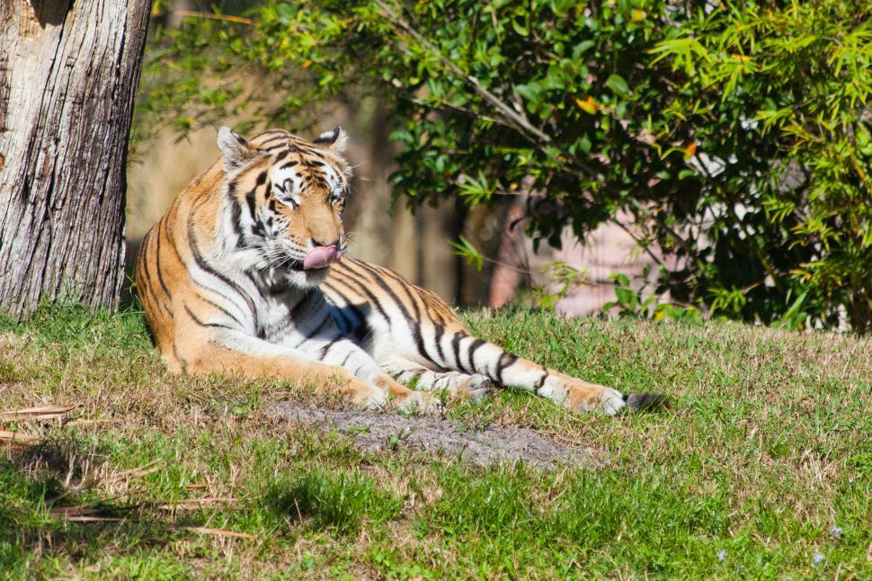 Download Free Stock HD Photo of Tiger Online