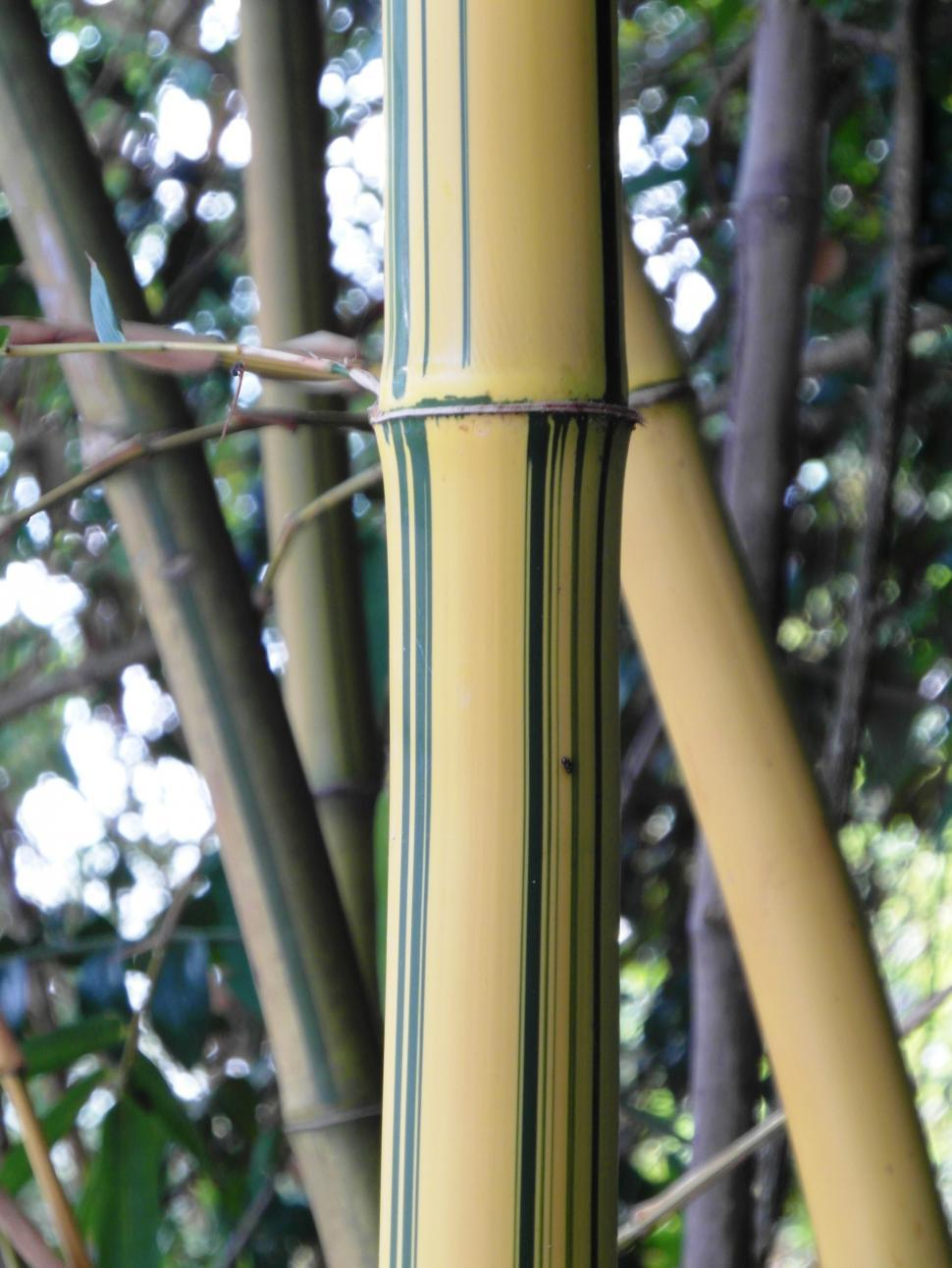 Download Free Stock HD Photo of Golden Striped Bamboo Detail Online