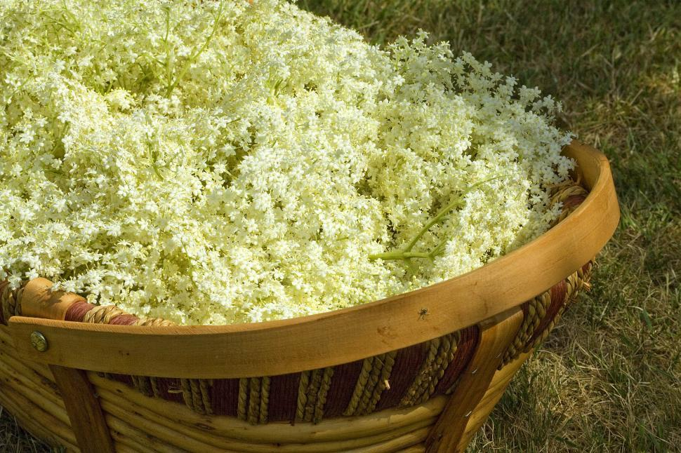 Download Free Stock HD Photo of elderflowers Online