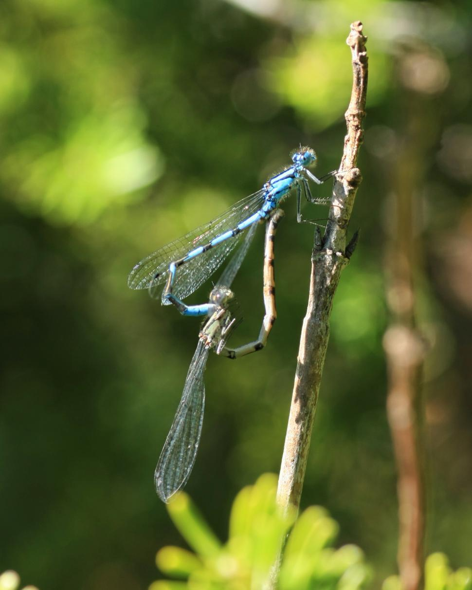 Download Free Stock HD Photo of Common Blue Damselfly Online