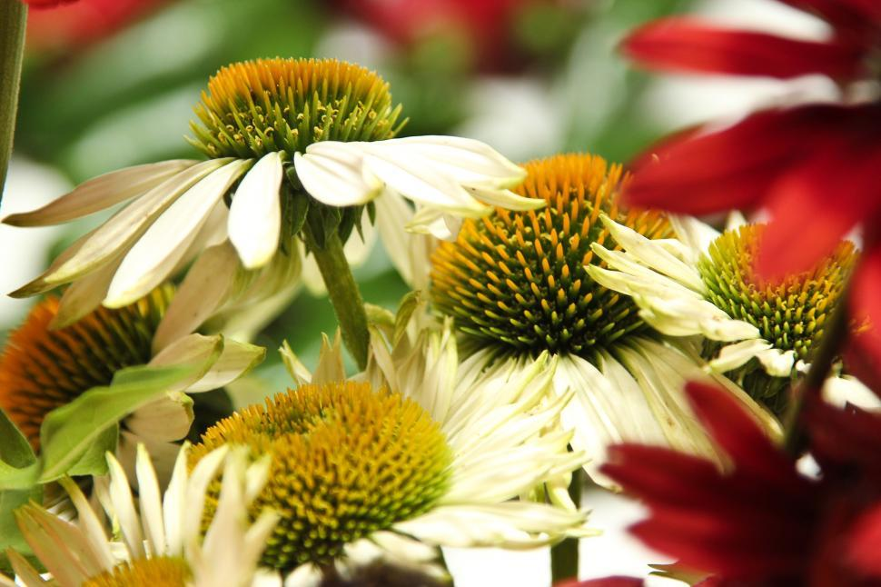 Download Free Stock HD Photo of Echinacea Flowers Online