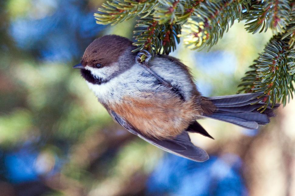 Download Free Stock HD Photo of Boreal Chickadee Online