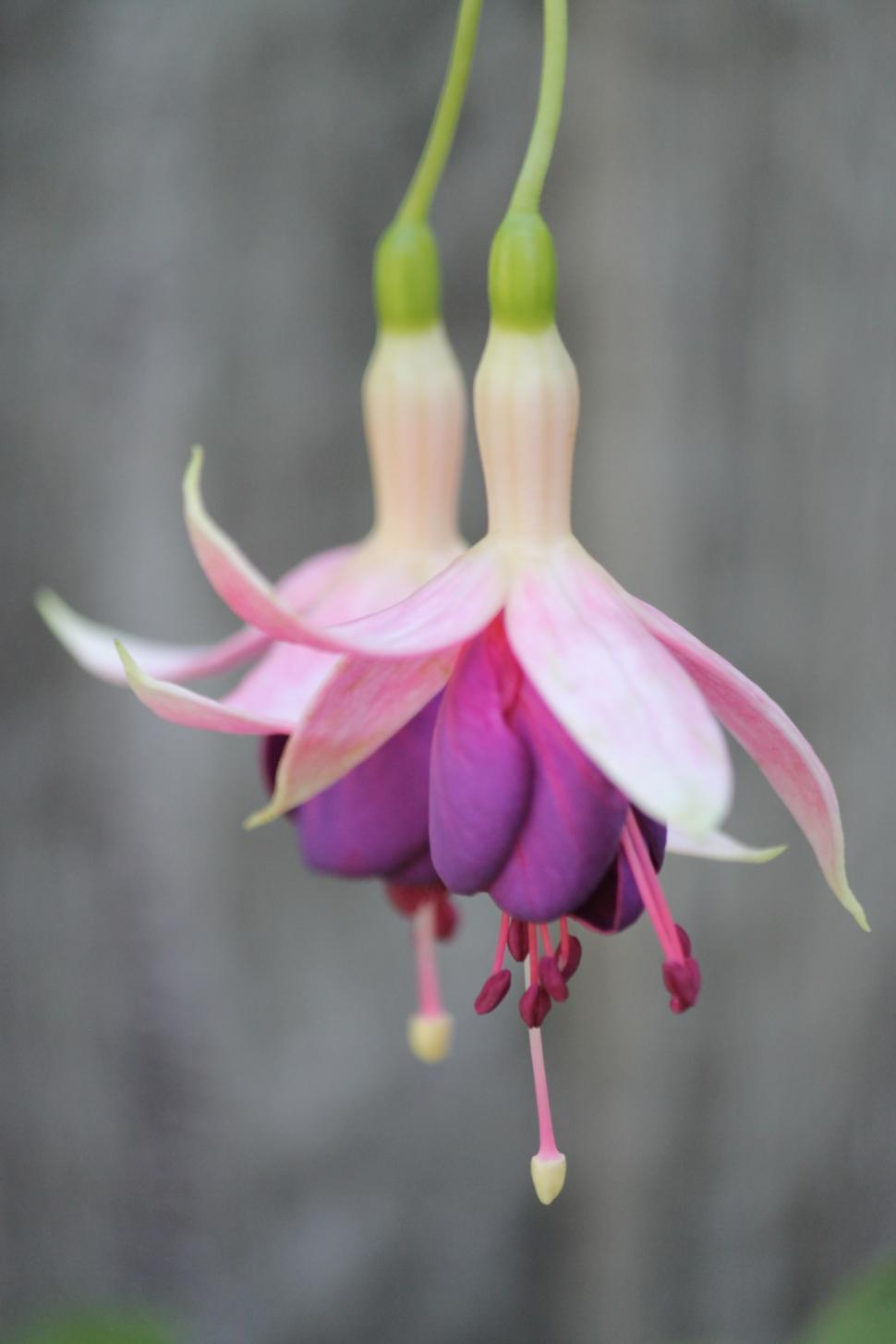 Download Free Stock HD Photo of Two fuchsias Online