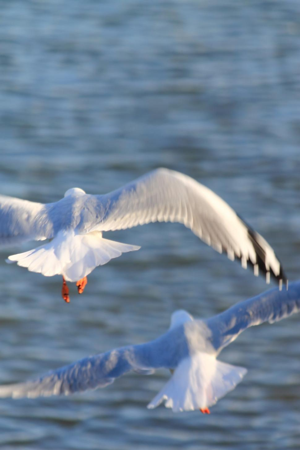 Download Free Stock HD Photo of Australian Silver gulls Online