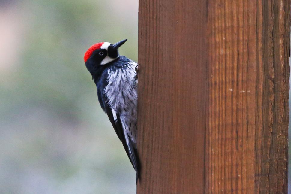 Download Free Stock HD Photo of Acorn Woodpecker Online
