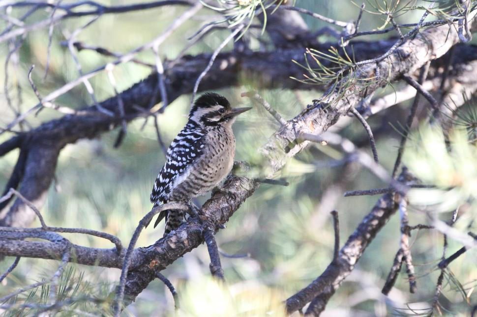 Download Free Stock HD Photo of Downy Woodpecker Online