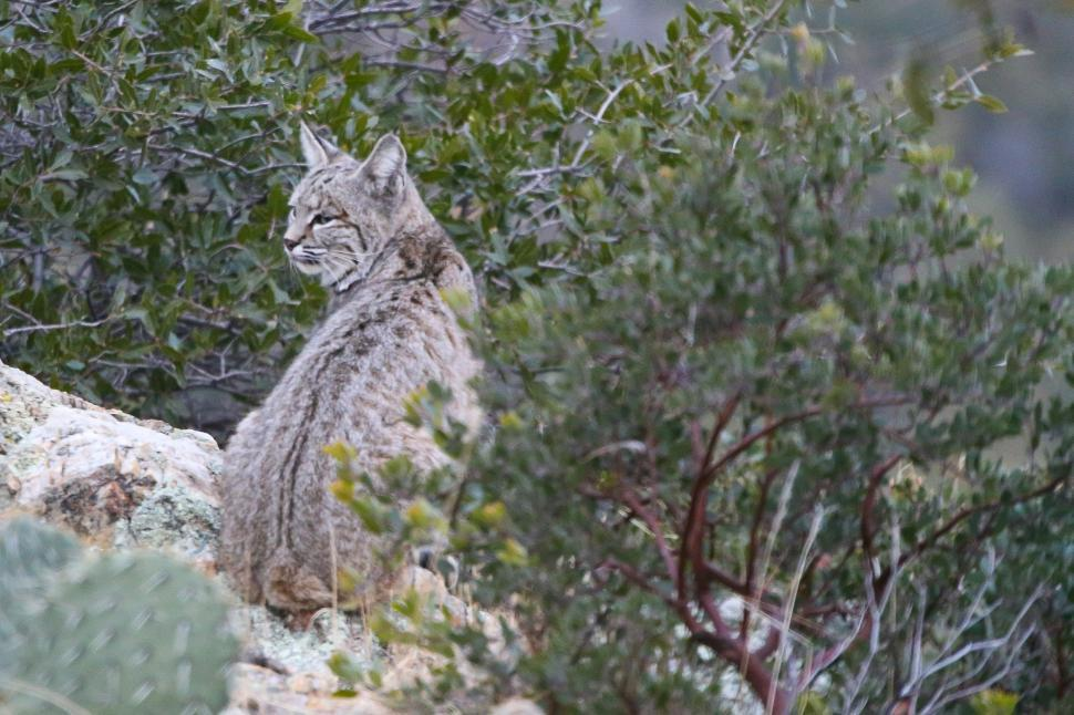 Download Free Stock HD Photo of Bobcat in the wild Online