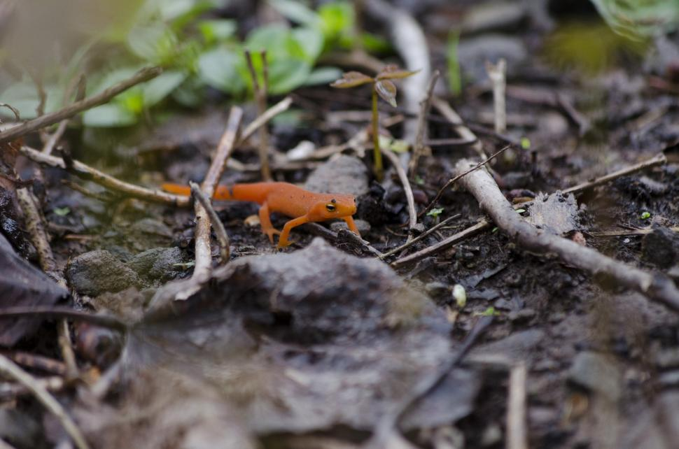 Download Free Stock HD Photo of Orange Spotted Newt Online