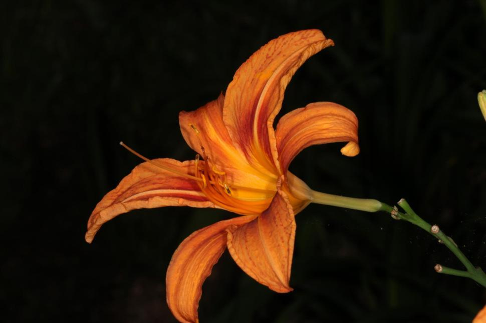 Download Free Stock HD Photo of Tiger Lily Online