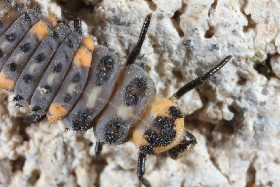 Download Free Stock HD Photo of Ladybug larva macro Online