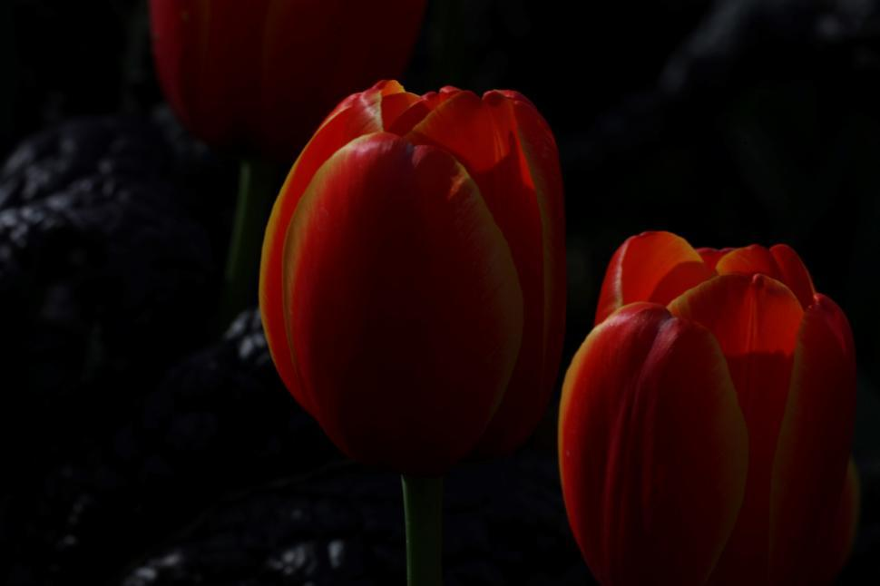 Download Free Stock HD Photo of Red Tulips Online