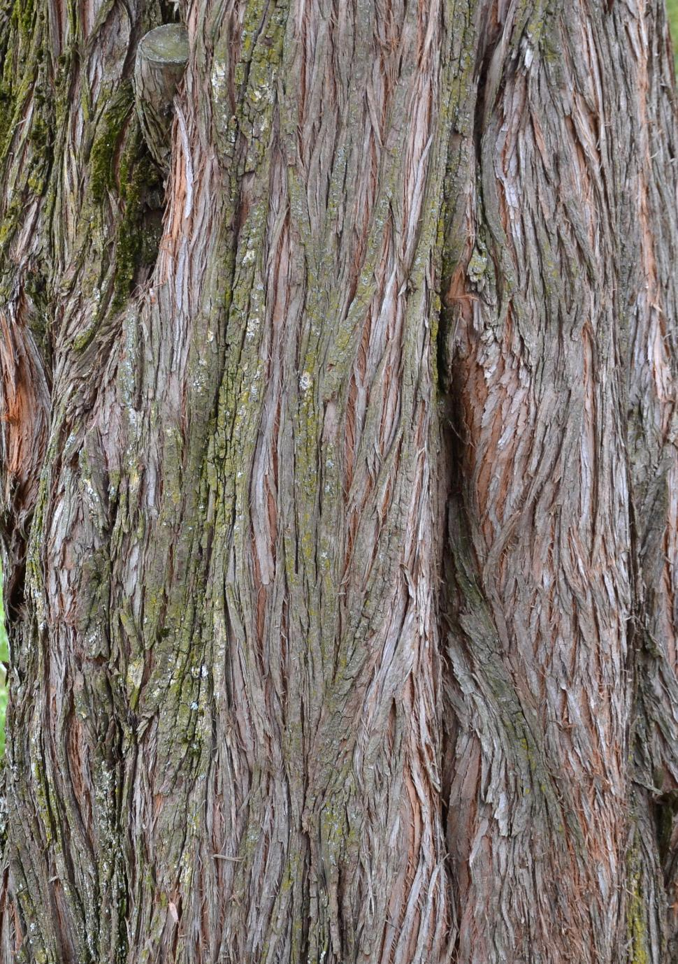 Download Free Stock HD Photo of Bark of dawn redwood Online