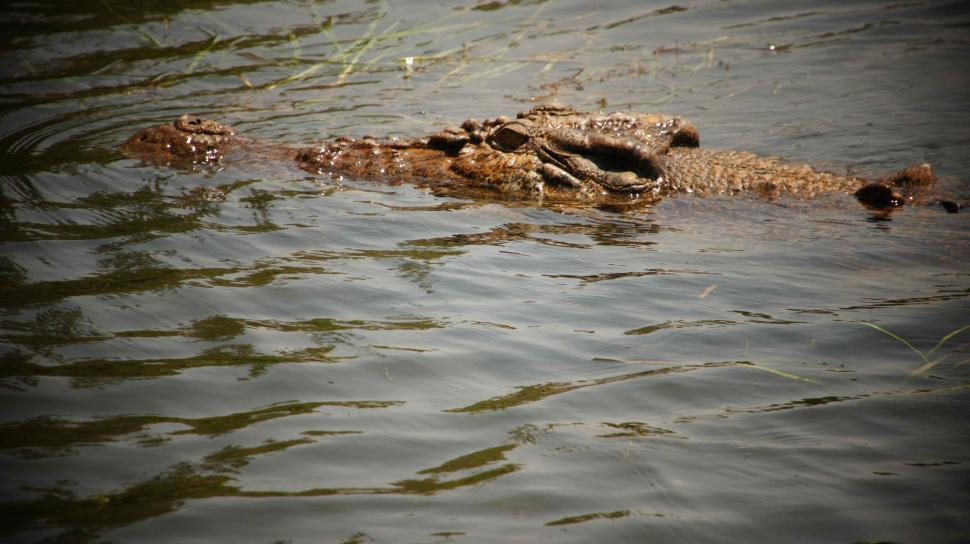 Download Free Stock HD Photo of Crocodile in the Water Online