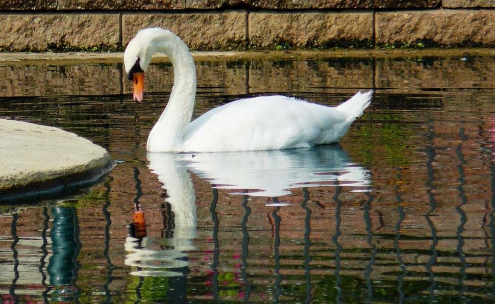 swan-staying-alone-without-mate-pair
