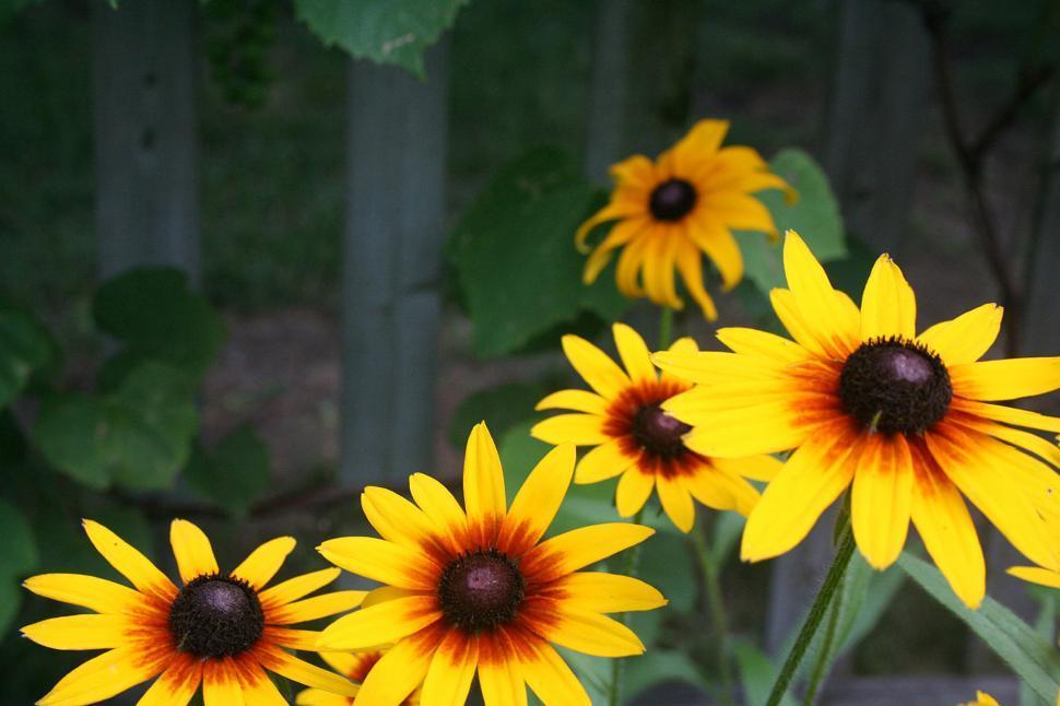 Download Free Stock HD Photo of Black-Eyed Susans in Bloom in a Backyard Garden Online