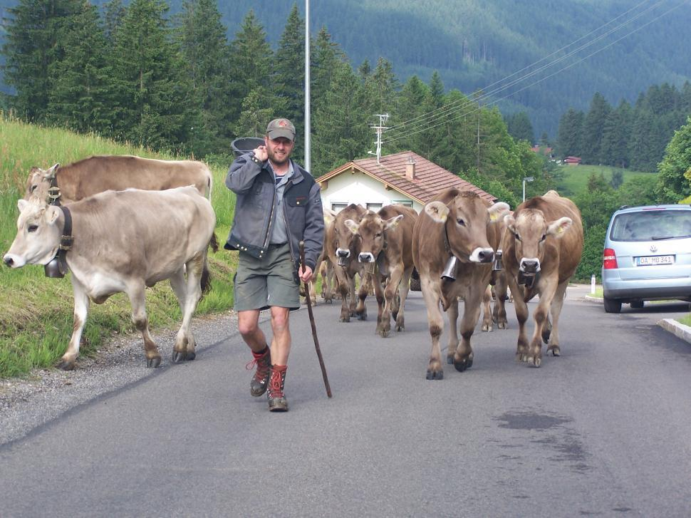 Download Free Stock HD Photo of Farmer Herding Cattle Online
