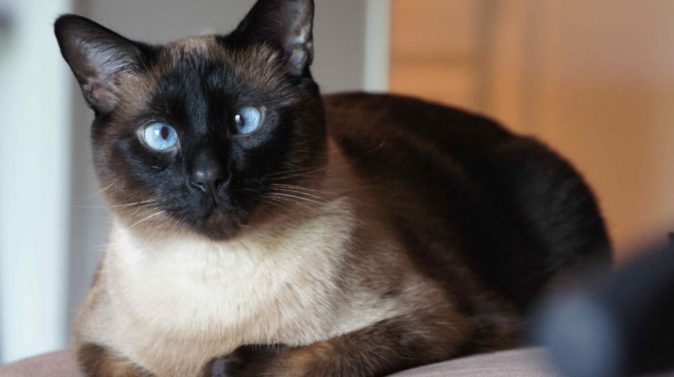 Crossed Eyed Siamese Cat