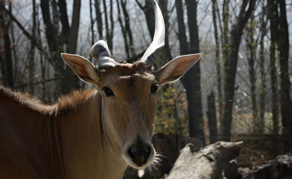 Download Free Stock HD Photo of Portrait Antelope Online