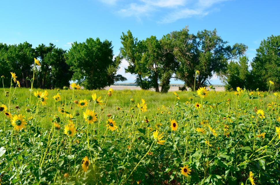 Download Free Stock HD Photo of Sunflower Patch in a Country Meadow with Big Trees Online