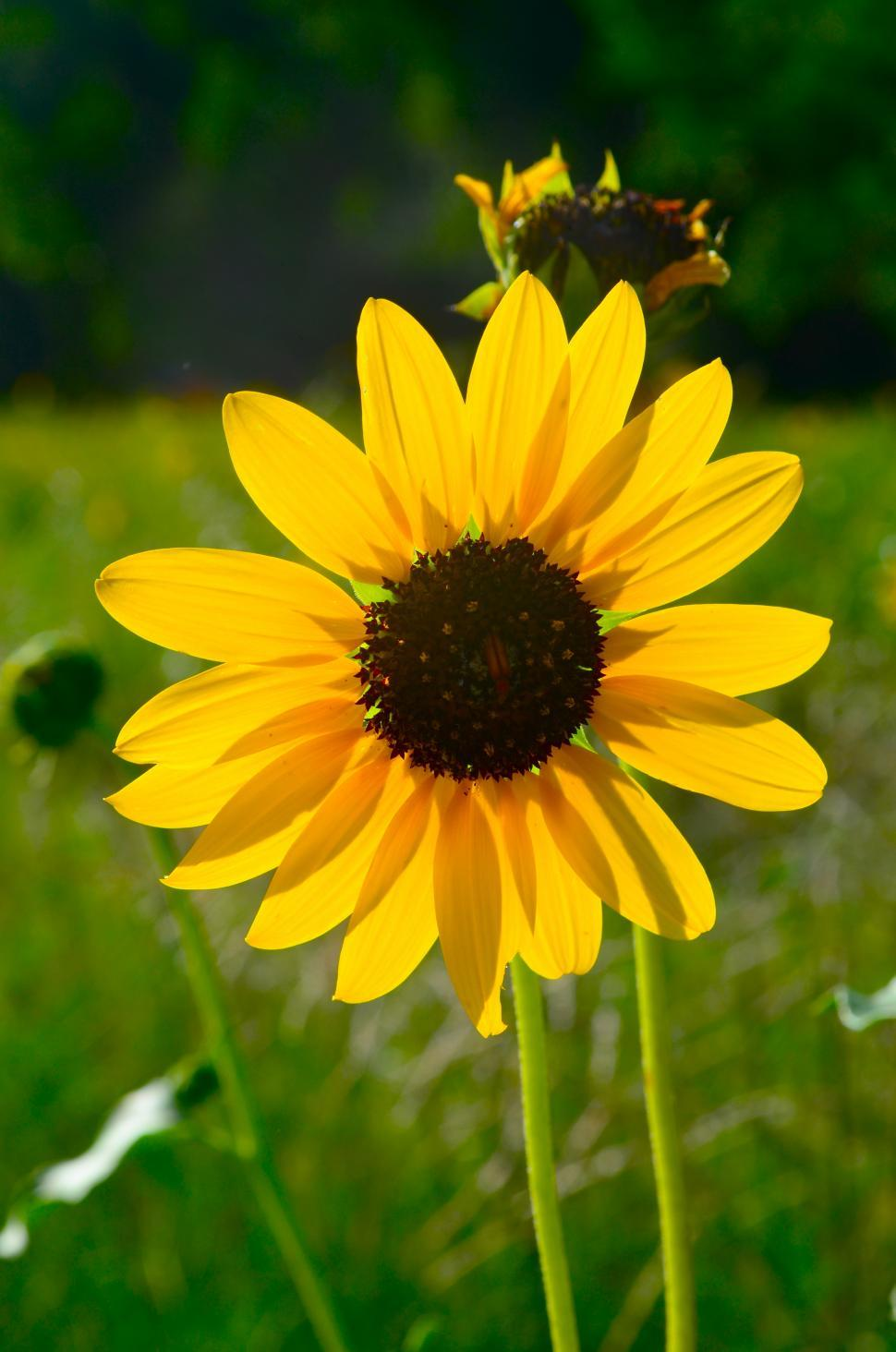 Download Free Stock HD Photo of Yellow Sunflower Large Online